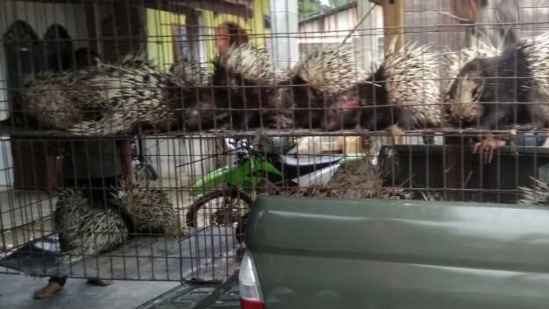Polres Aceh Singkil menyita puluhan landak