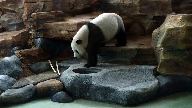 Giant Panda Cai Tao