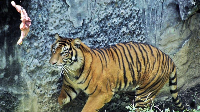 Perawatan Harimau Sumatra