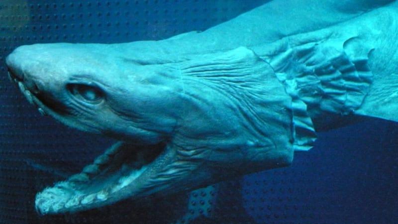 Hiu Purba yang hidup sejak 80 juta tahun lalu