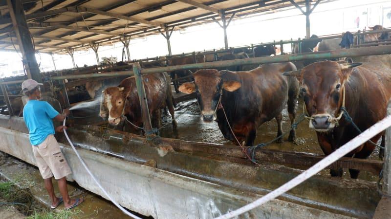 Peternakan sapi milik PD Dharma Jaya