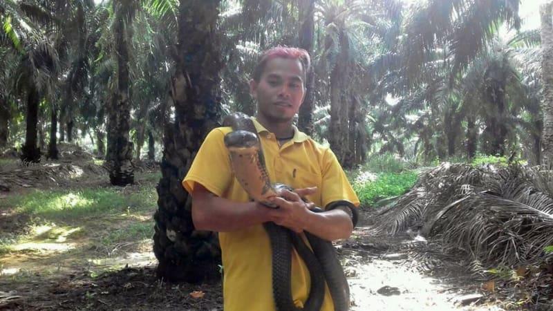 Ular kobra raksasa dilepas ke hutan