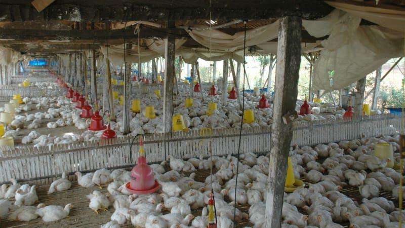 Akibat Harga Ayam Jatuh 30000 Peternak Kolaps