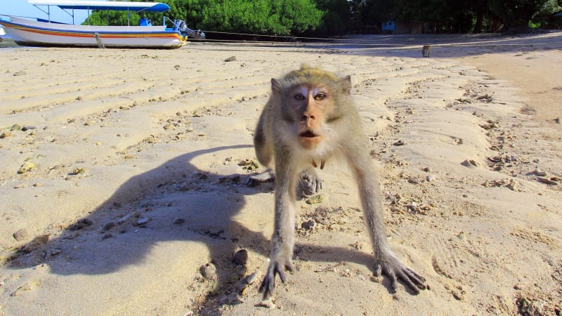 Ilustrasi serangan monyet