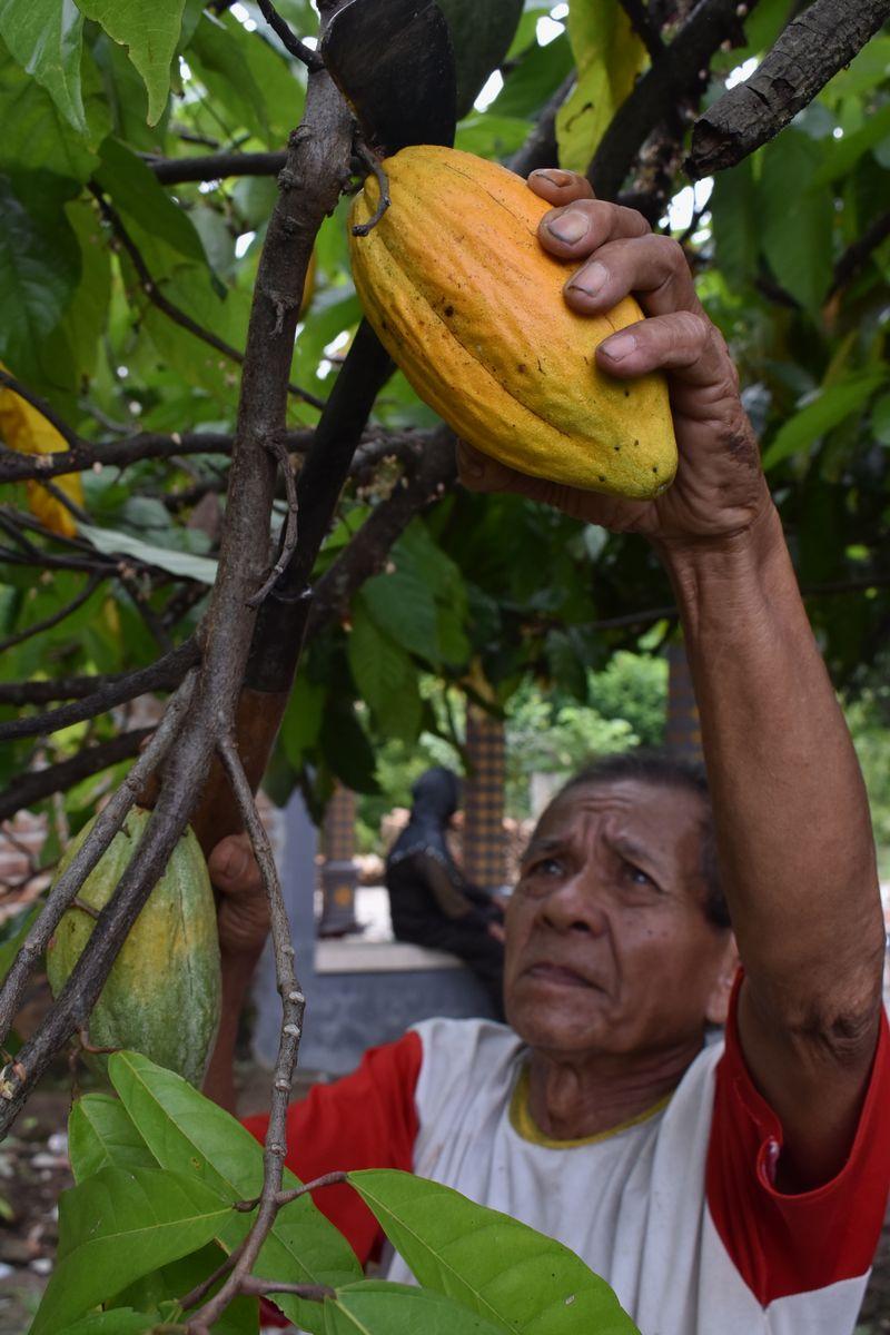 Petani menjemur biji kakao di Padas, Dagangan, Kabupaten Madiun, JawaTimur, Rabu (23/11).
