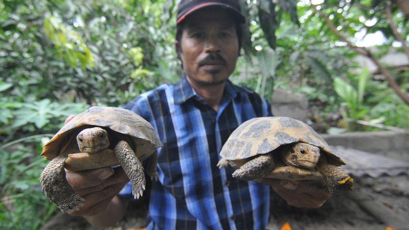 Kura-kura Darat dari Sulawesi Terancam Punah