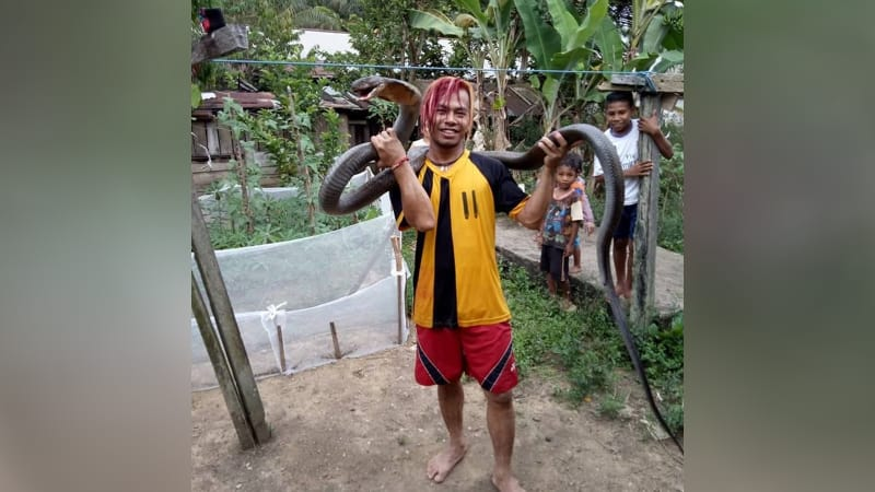 King Cobra yang ditangkap Edy