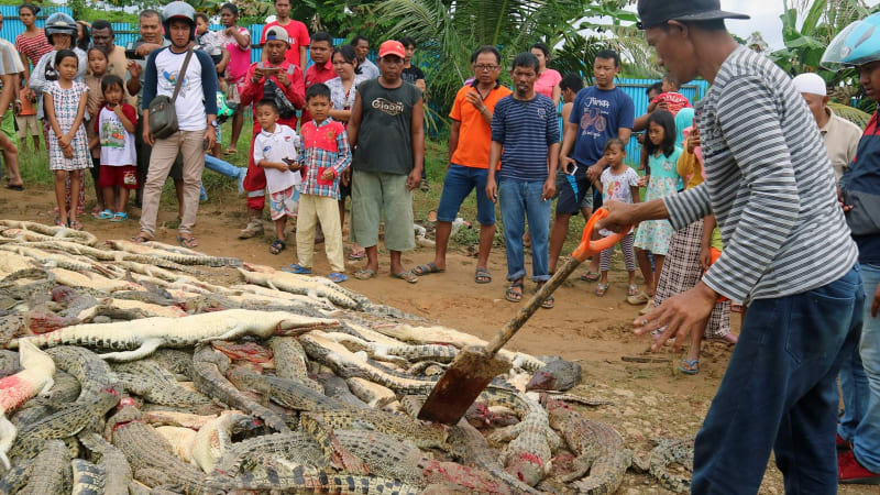 Pembantaian buaya di Sorong, Papua Barat