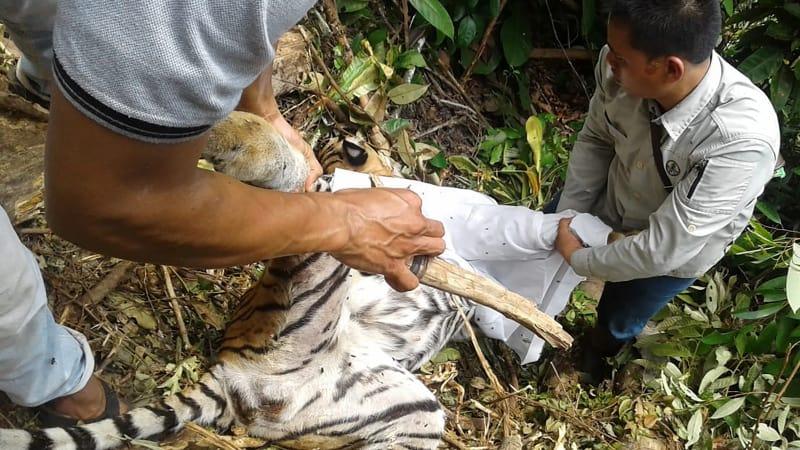 Bangkai harimau Sumatra, punah, Pekanbaru