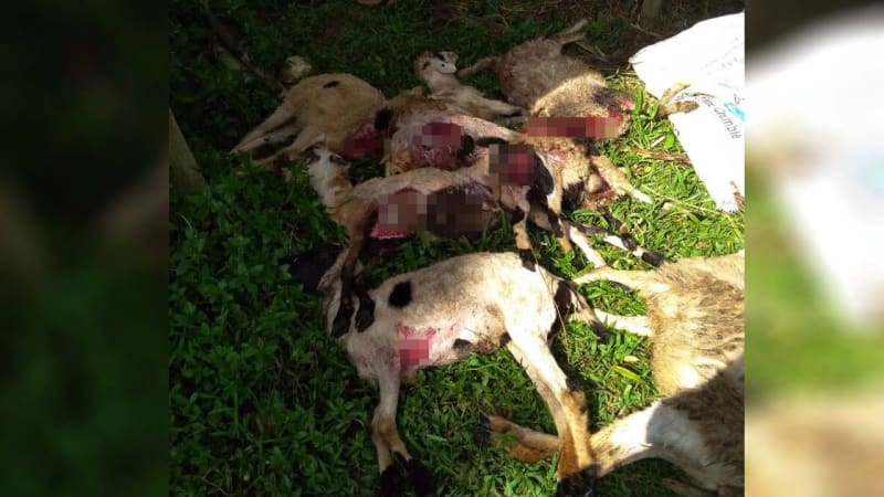 Kambing mati diserang gerombolan anjing liar