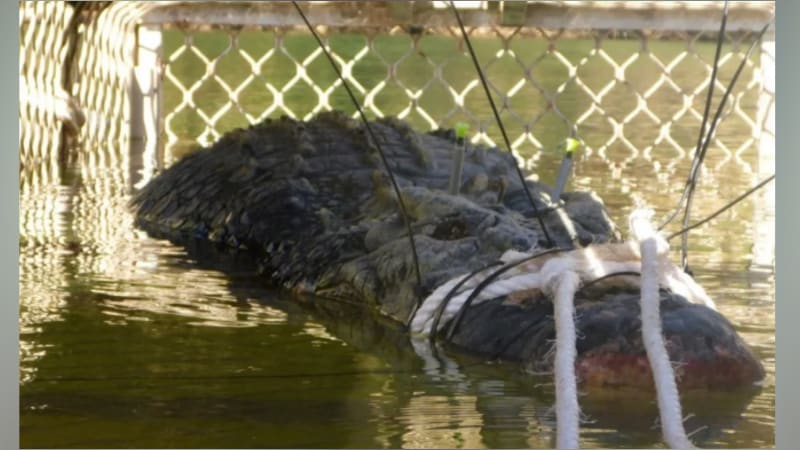 Buaya seberat 600kg ditangkap di Australia