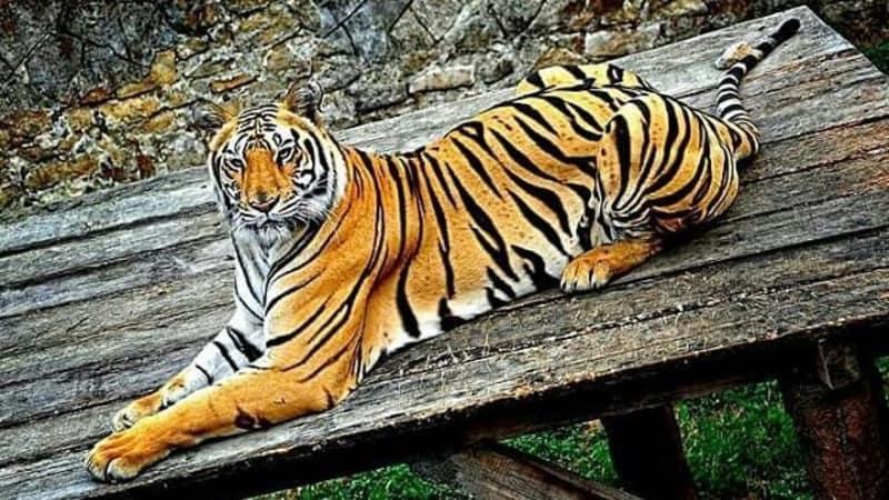 Harimau di Batu Secret Zoo, Malang
