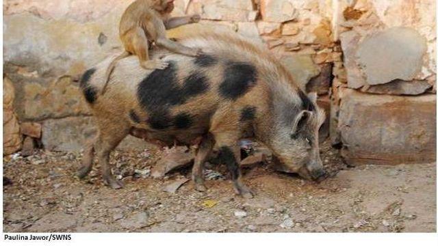 Berbagi Makanan Sebagai Simbol Persahabatan Seekor Monyet dan Babi Liar