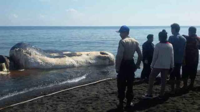 Ikan Paus Sperma Terdampar di Pantai Buleleng Bali