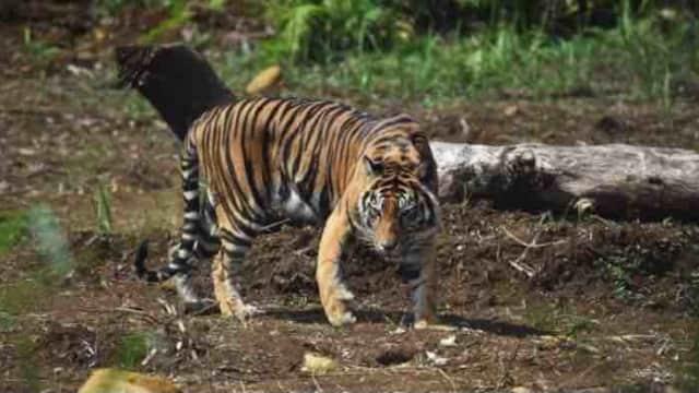 Anak Harimau Terjerat Perangkap BKSDA di Kabupaten Agam