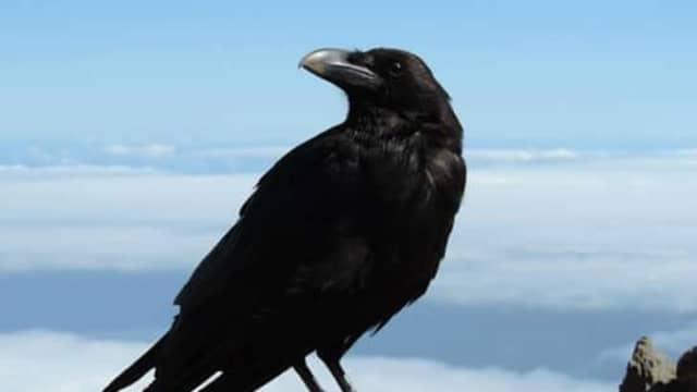 Burung Gagak Unggas Tercerdas, Sudah di Sebutkan Dalam Al Quraan