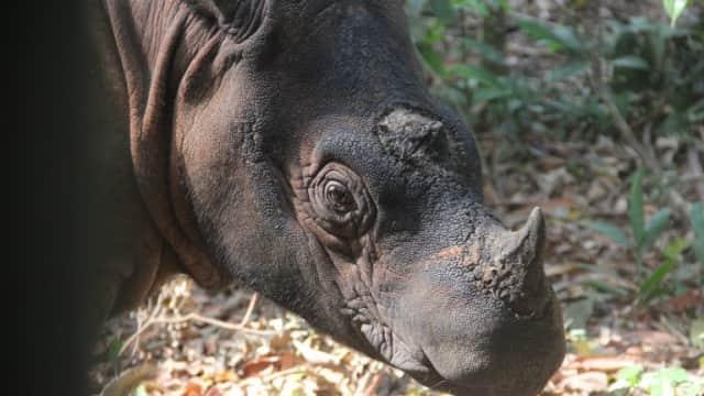 Adakah Solusi Terbaik untuk Selamatkan Badak Sumatera?