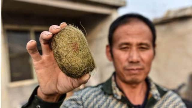 Batu Empedu Babi Milik Peternak Asal China Dihargai Senilai 8,2 Milyar Rupiah