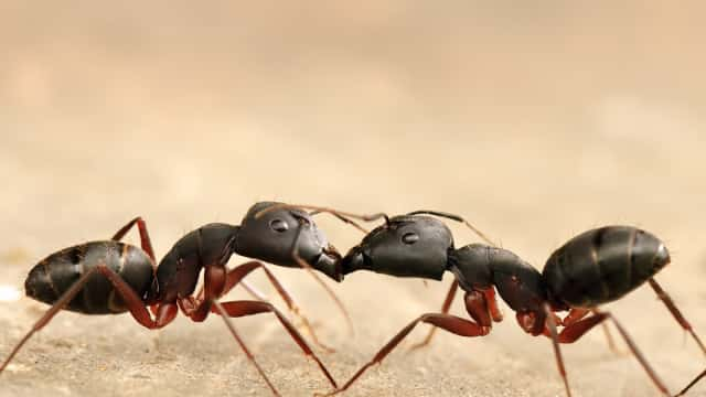 Semut Memiliki Dua Perut