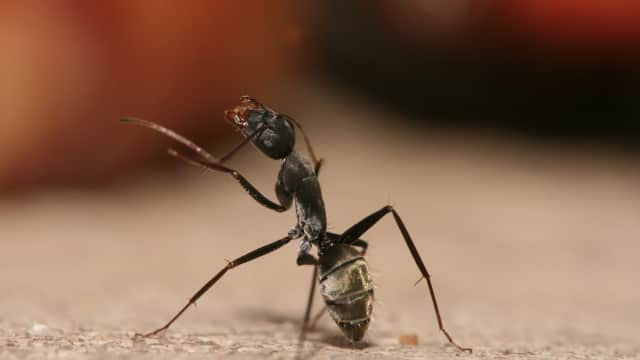 Semut Sudah Ada Sejak Zaman Dinosaurus