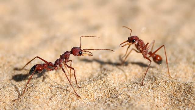 Semut dapat Bertahan di Air