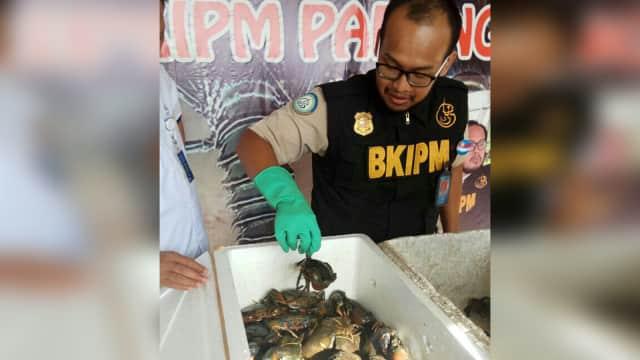 Pengiriman Kepiting Bertelur melalui Bandara Minangkabau Digagalkan