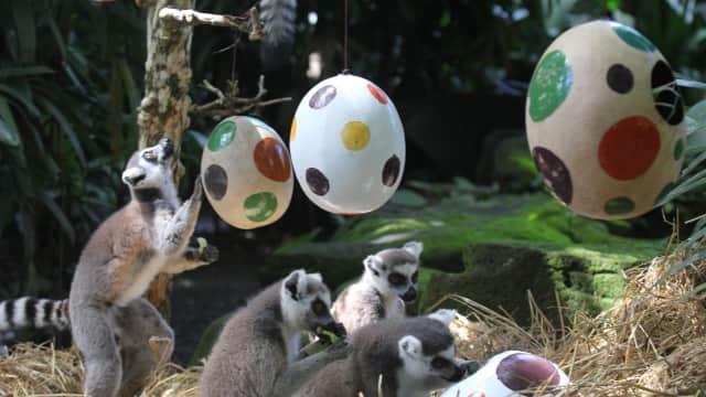 Melihat Lemur dan Harimau Berburu Telur Paskah