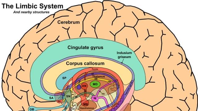 Sistem Primitif Di Otak Manusia