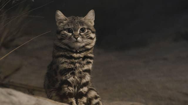 Melihat Kucing Kaki Hitam, Si Imut yang Paling Mematikan