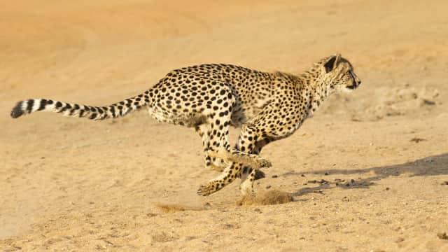 Cheetah Sebelumnya Disebut Leopard