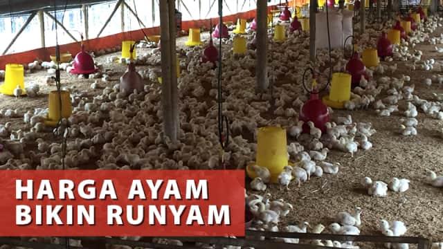 Broker Mencari Untung saat Harga Daging Ayam Peternak Anjlok