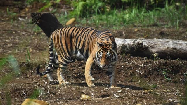Ditangkap di Riau, Harimau Bonita Kini Dirawat di Pusat Rehabilitasi