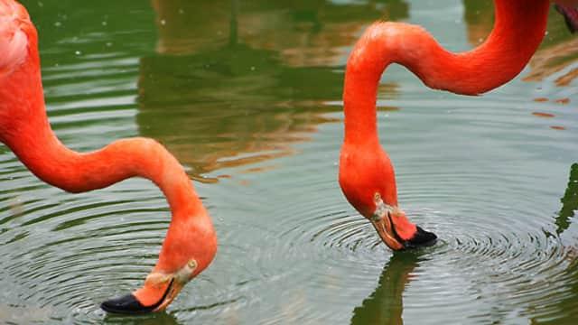 Flamingo Harus Membalikkan Kepalanya Ketika Makan