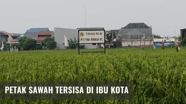 Bukan Milik Petani, 80 Persen Sawah Jakarta Milik Pengembang
