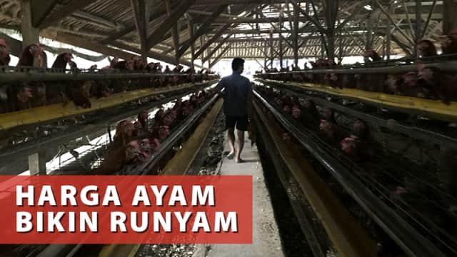 Jurus Dadakan Pemerintah Stabilkan Harga Daging Ayam di Peternak