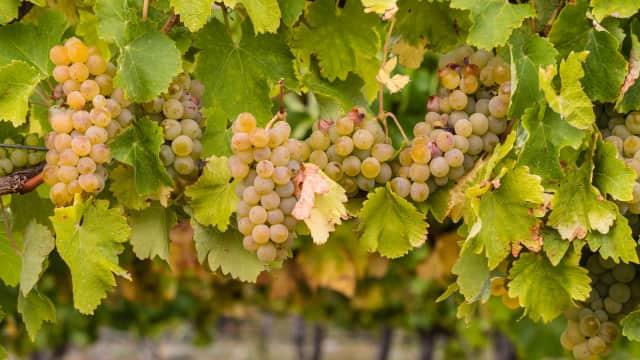 Tradisi Menyambut Tahun: Masyarakat Spanyol Berlomba Menelan Buah Anggur Hijau