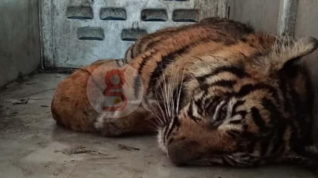 Harimau yang Ditangkap di Padang Direhabilitasi di Dharmasraya