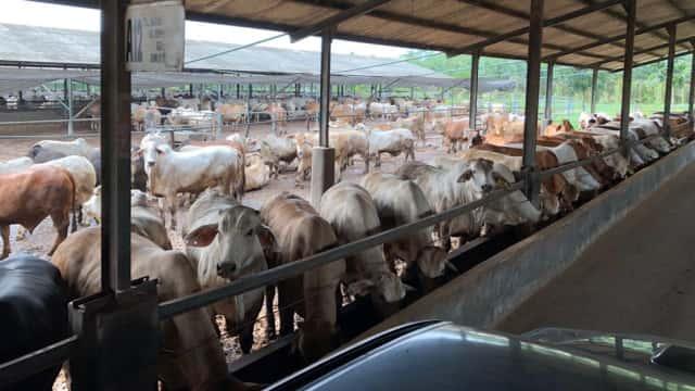 Kementan: Brasil Mau Bangun Peternakan Sapi di NTT
