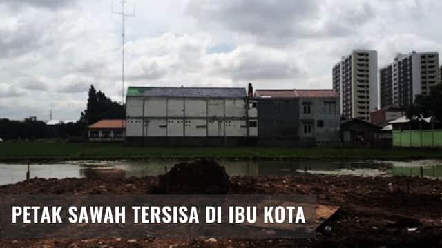 Kisah Sawah di Jakarta yang Akan Musnah
