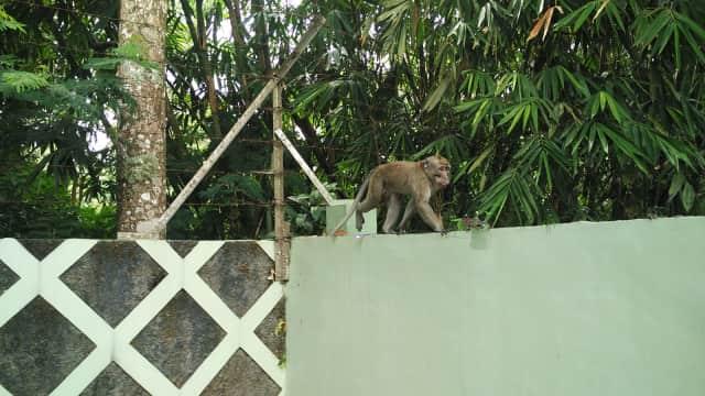 Penjelasan Ilmiah Mengapa Monyet Turun Gunung Setelah Erupsi Merapi