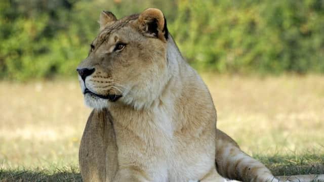 Maskapai Singapura Berhenti Kirim Kargo Tulang Singa