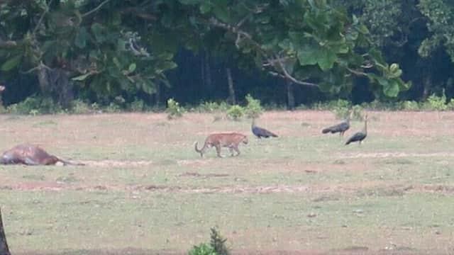Misteri Foto Diduga Harimau Jawa di Ujung Kulon Belum Terpecahkan