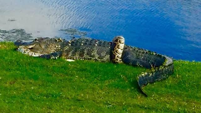 Melihat Duel Maut Aligator dan Ular Piton, Siapa yang Menang?