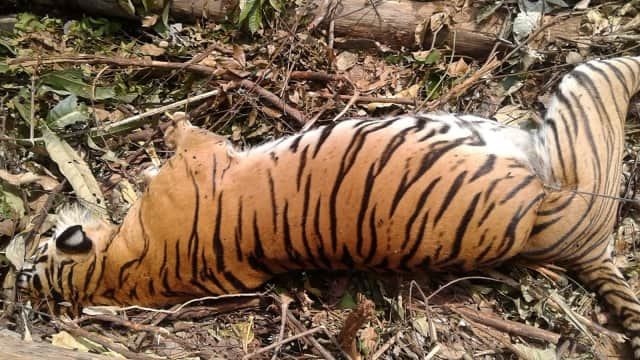 Harimau Sumatra Langka Mati Akibat Terjerat Perangkap di Riau