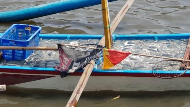 Minim Peminat, Ubur-ubur Tangkapan Nelayan Cilacap Diekspor ke China