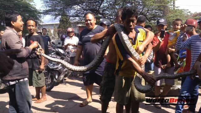 Pemangsa Ternak, Ular Piton 4 Meter ditangkap Warga Nogosari