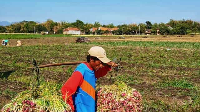 Harga Bawang Anjlok, Petani di Sumatera Barat Merugi