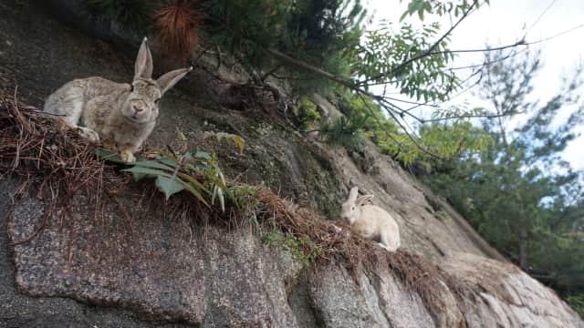 Setelah Pulau Kucing, Jepang Juga Punya Pulau Kelinci