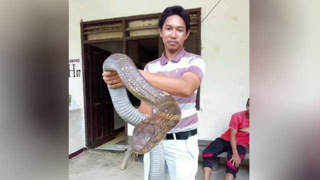 Mengenal King Cobra, Ular Berbisa Terpanjang di Dunia