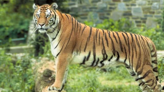 India Buru Harimau Betina Pemangsa 13 Orang